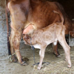 A calf found his mother milk for the first time, Jacobabad, Sindh, March 23, 2015