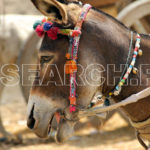 A donkey, Jacobabad, Sindh, March 23, 2015