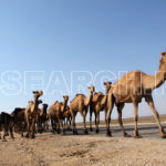 A group of camels, Nasirabad, Balochistan, April 6, 2015