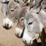 A group of donkeys, Chachro, Thar, Sindh, December 31, 2012