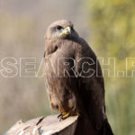 Black Kite, Islamabad, January 29, 2015