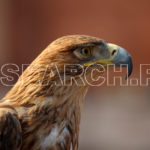 Black Kite, Lahore, Punjab, February 12, 2017