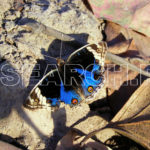 Blue butterfly, Peshawar, KP, November 18, 2007