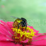 Bumble Bee, Abbottabad, KP, August 23, 2007