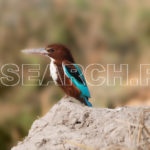 King Fisher at Indus bank, Larkana, Sindh, December 27, 2015