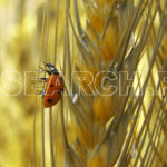 Lady bird on wheat staple, Jalalpur Jattan, Gujrat, Punjab, March 23, 2008