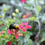 Wild Bumble Bee, Islamabad, December 24, 2012